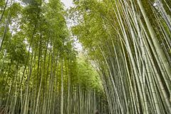 Kyoto Bamboo Forest royalty free stock images