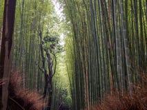 Kyoto bambusa las obraz royalty free