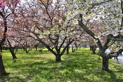 Kyoto cherry blossom Stock Photo