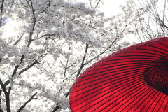 Kyoto cherry festival and red  Royalty Free Stock Photo