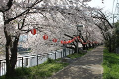 Kyoto Cherry Trees Lizenzfreies Stockbild