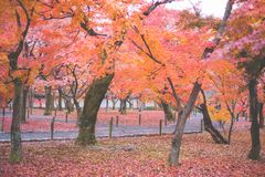 Kyoto, Dongfu Temple. Everyone can find their own maple tree in the temple. Once you enter Dongfu Temple, you will surely be intoxicated with the color in front royalty free stock image