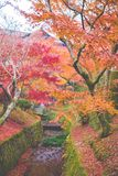Kyoto, Dongfu Temple. Everyone can find their own maple tree in the temple. Once you enter Dongfu Temple, you will surely be intoxicated with the color in front royalty free stock photography