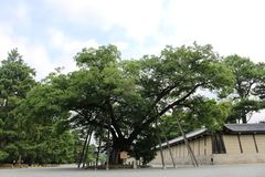 Kyoto Imperial Palace 300 years old tree Royalty Free Stock Images