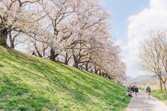 Kyoto, JAPÃO - 3 de abril de 2018: Os povos apreciam ver a flor de cerejeira de florescência bonita em Yawatashi imagem de stock royalty free