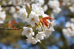 Cherry blossom in Kyoto Royalty Free Stock Photo