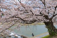 Kyoto Japan - Maj 2017: Man att vila på den Kamo flodstranden med trädet för den körsbärsröda blomningen i Kyoto, Japan på Maj 20 Royaltyfri Fotografi