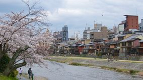 Kyoto, Japan - May 2017 : Activities along Kamo riverbank with cherry blossom trees in Kyoto, Japan on May 2017. Activities along Kamo riverbank with cherry Royalty Free Stock Photo