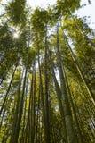 Kyoto, Japan - May 20, 2017:  Bamboo forests at Arashiyama Park. Kyoto, Japan - May 20, 2017: Tall bamboo forests at Arashiyama Park in Kyoto Japan Stock Photography