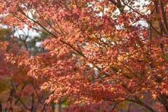 KYOTO, JAPAN - 24 NOV.: de herfstgebladerte bij Eikando-Tempel op Novem Stock Afbeelding