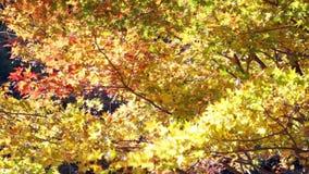 Kyoto, JAPAN - Nov 16, 2013: A pavilion at Jingo-ji, Japan. Jing stock video footage