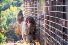 Iwatayama Monkey Park stock photo