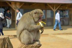 Japan Travel Kyoto Monkey Park Iwatayama April 2018 royalty free stock photography