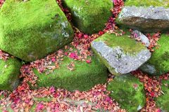 Kyoto moss garden. Autumn leaves in Japan - red momiji leaves (maple tree) in Kyoto royalty free stock photo