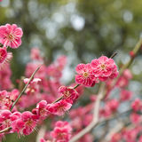 Kyoto plum blossoms. Spring time plum blossoms (ume no hana) at a temple in Kyoto, Japan royalty free stock image