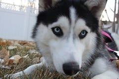 Kyra Siberian Husky stock foto