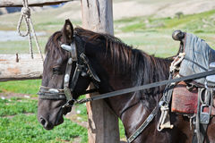 Kyrgyz black stallion in harness with a saddle at the hitching p Stock Photo