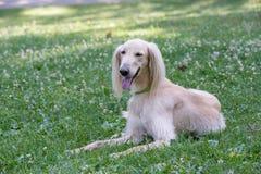 Kyrgyzian视域猎犬Taigan狗坐绿草 免版税库存照片