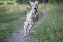 Kyrgyzian  Sight hound Taigan dog running on the grass Royalty Free Stock Images