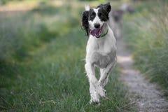 Kyrgyzian  Sight hound Taigan dog running on the grass. Royalty Free Stock Photos