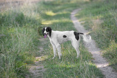 Kyrgyzian  Sight hound Taigan dog sitting on the green grass Royalty Free Stock Image
