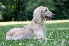 Kyrgyzian  Sight hound Taigan dog sitting on the green grass. Stock Photo
