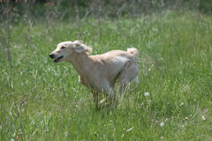 Kyrgyzian  Sight hound Taigan running on the grass Royalty Free Stock Image