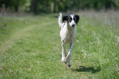 Kyrgyzian  Sight hound Taigan running on the grass Stock Images