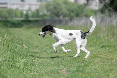 Kyrgyzian  Sight hound Taigan running on the grass Royalty Free Stock Photos