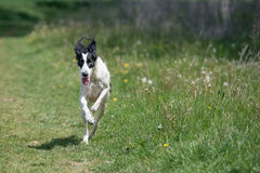 Kyrgyzian  Sight hound Taigan running on the grass. Royalty Free Stock Photo
