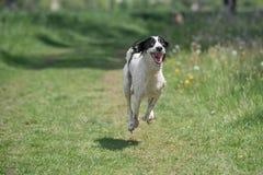 Kyrgyzian  Sight hound Taigan running on the grass. Stock Photo