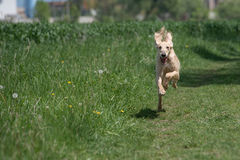 Kyrgyzian  Sight hound Taigan running on the grass. Stock Photography