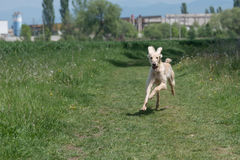 Kyrgyzian  Sight hound Taigan running on the grass. Royalty Free Stock Photography