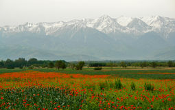 Kyrgyzstan Poppy field Stock Photo