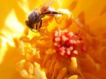 Kyss av honungsbit Fotografering för Bildbyråer