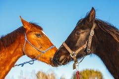 Kyss av två arabiska hästar av svart och röd färg mot den blåa himlen arkivfoto
