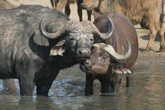 kyssa för bufflar arkivfoto