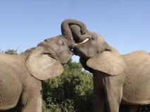 kyssa för elefanter arkivbild
