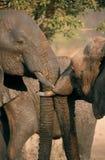 kyssa för elefanter royaltyfria foton