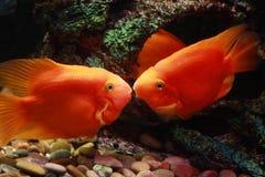 kyssa för fiskar Arkivfoton