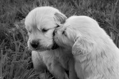 Kyssa för golden retrievervalpar Royaltyfria Bilder