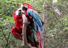 Kyssa för papegoja Royaltyfria Bilder