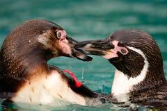 Kyssa för två Humboldt pingvin Arkivfoto