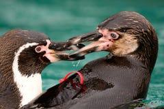 Kyssa för två Humboldt pingvin Royaltyfri Bild