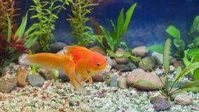 Kyssande guld- fisk Royaltyfri Bild