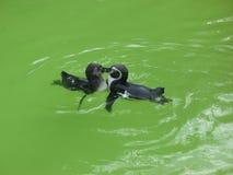 kyssande pingvin Fotografering för Bildbyråer