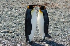 kyssande pingvin för konung Arkivfoton