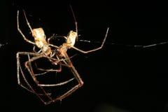 kyssande spindel Royaltyfri Fotografi