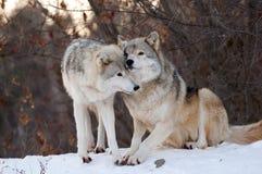 kyssande wolf Royaltyfri Bild