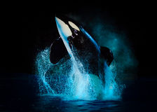 Kyuquot - Killer Whale at SeaWorld Texas with black backdrop Royalty Free Stock Photo